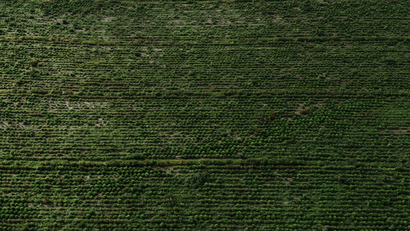 christmas tree plantation from above